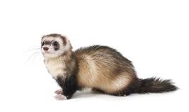 Guanto mezzo d'acciaio di colore del Weasel su una priorità bassa bianca Fotografia Stock