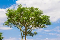 Guapuruvu δασικό κορυφαίο δέντρο πεύκων Στοκ Εικόνα