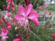 Guara rosa scuro Immagini Stock Libere da Diritti