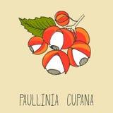Guarana bär, Paullinia cupana Arkivfoton