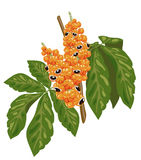 Guarana branch with fruit and leaves. Royalty Free Stock Image