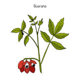 Guarana branch with fruit and leaves. Guarana Paullinia cupana branch with fruit and leaves. Hand drawn botanical vector illustration royalty free illustration