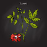 Guarana branch with fruit and leaves. Guarana Paullinia cupana branch with fruit and leaves. Hand drawn botanical vector illustration stock illustration