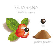 Guarana. Organic superfood guarana (Paullinia cupana) Opened inflorescences guarana on the branch. leaves, seeds and powder. Vector image royalty free illustration