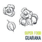 Guarana. Super food hand drawn sketch vector. Illustration stock illustration