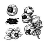 Guarana vector superfood drawing set. Isolated hand drawn royalty free illustration