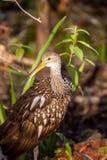 Guarauna del Aramus del pájaro que vadea de Limpkin Fotografía de archivo libre de regalías