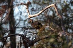 Guarauna del Aramus del pájaro que vadea de Limpkin en el pantano Sanct del sacacorchos Imagen de archivo libre de regalías