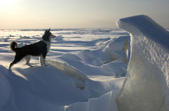 On the guard. Dog and an ice floe protect open spaces of an ice kingdom. Russia. Ladoga lake Stock Images