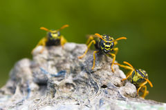 On guard. Three wasps guarding a nest Stock Photography