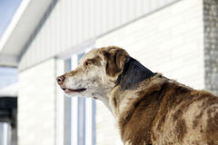 The guard. Home security: big labrador australian shepherd mix dog keeping an eye on things in front of the house Royalty Free Stock Image