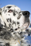 On guard. Close-up of an English Setter's head with blue sky background Stock Photos