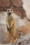 The Guard. Meerkat standing on hind legs and watching for intruders Stock Photo