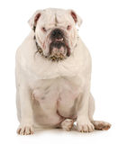 Guard dog. English bulldog wearing spiked collar with intimidating expression on white background Stock Images