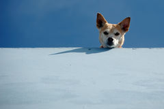 Guard dog. Is looking down from roof royalty free stock image