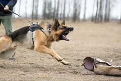 Guard dog being trained Royalty Free Stock Image