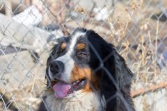 The guard dog, Bernese mountain dog, sits in the cage behind the net stock photography