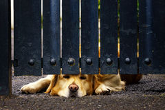 Guard dog bored under gate Royalty Free Stock Photo