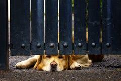 Guard dog bored under gate Royalty Free Stock Photo