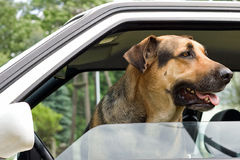 Guard dog in car. A guard dog looking out a car window royalty free stock photos