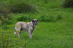 Guard Dog, Caucasian Shepherd on meadow Royalty Free Stock Photos