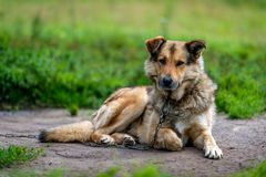 Guard dog on the chain. Chain dog. Royalty Free Stock Images