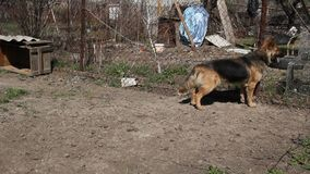 Guard dog on a chain,. A farmstead in the village stock video footage