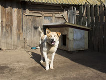 Guard dog on a chain. Guard house Royalty Free Stock Photo