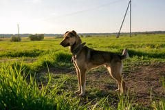 Guard dog on a chain Royalty Free Stock Images