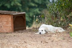 Guard dog on the farm. Large white guard dog on the farm, laying on the ground royalty free stock photo