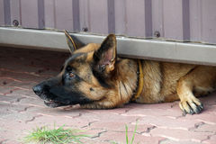 Guard dog Stock Photography