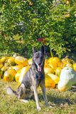 Guard dog in garden against autumn harvest pumpkins Stock Photo