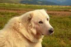 guard dog that guards the sheep royalty free stock image