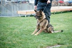 Guard dog on leash stock photos