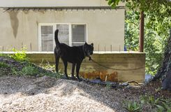 Guard dog on a leash. At home stock images