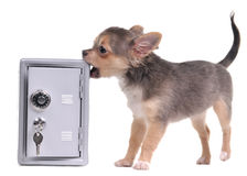 Guard dog looking after an open metal safe Royalty Free Stock Images