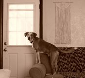 Guard Dog. Lookout squirrel window sofa couch curious tail catahoula leopard dog companion buddy loyal faithful best friend watching alert bark good boy sit stock photo
