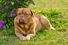 Guard dog lying on the grass stock photos
