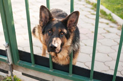 Guard dog peeking out from behind the fence Stock Photography