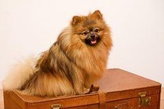Guard dog pomeranian. Pomeranian spitz guards the suitcase Royalty Free Stock Photos