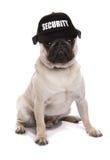 Guard dog pug. Studio cutout royalty free stock photos