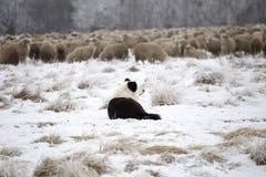Guard dog. Sheeps rural farm Stock Images