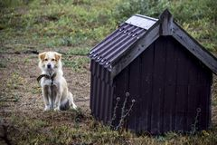 Guard dog. Sit near the doghouse Royalty Free Stock Photography