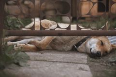Guard dog sleep and bored under a gate.  stock image