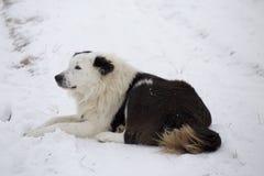 Guard dog. Wood winter, rural farm sheeps Stock Images