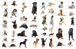 Guard dogs. Composite picture with purebred dogs in a white background Royalty Free Stock Photography