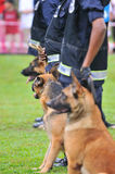 Guard Dogs II. German Shepherd Dog or GSD are used often in law enforcement or military Royalty Free Stock Photos