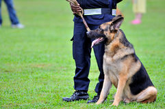 Guard Dogs III. German Shepherd Dog or GSD are used often in law enforcement or military Royalty Free Stock Images
