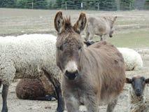 Guard Donkey Stock Photo