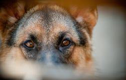 Guard eyes. German shepherd eyes close up Royalty Free Stock Photo